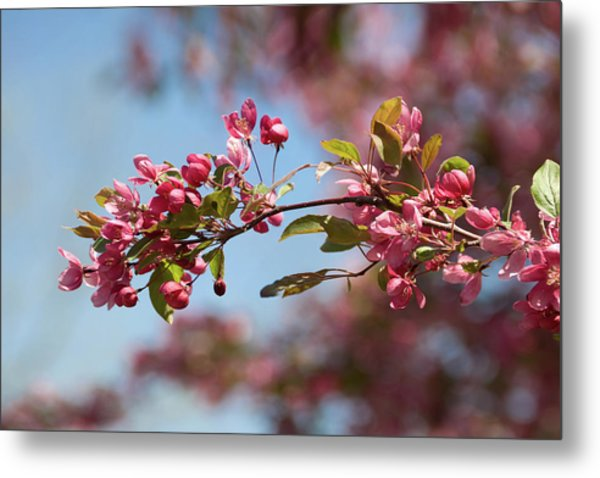 Crabapple In Spring Section 1 Of 4 Metal Print