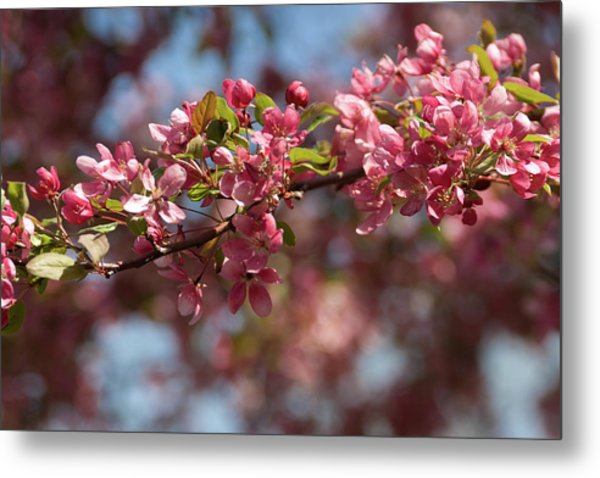Crabapple In Spring Section 2 Of 4 Metal Print