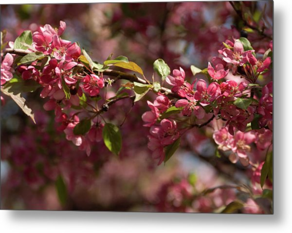 Crabapple In Spring Section 3 Of 4 Metal Print