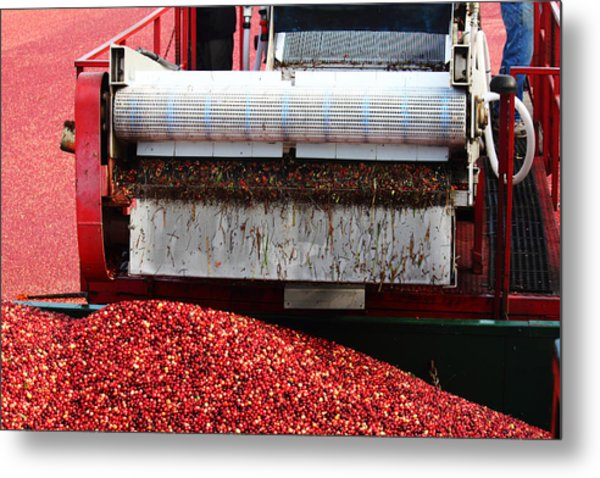 Cranberry Harvest Metal Print