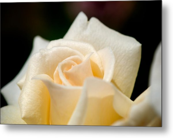 Cream Rose Kisses Metal Print