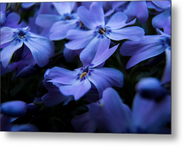Creeping Phlox Metal Print