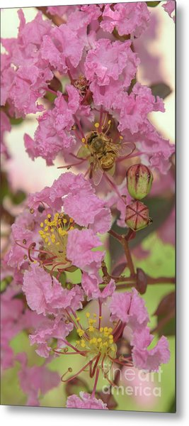 Crepe Myrtle And Bee Metal Print