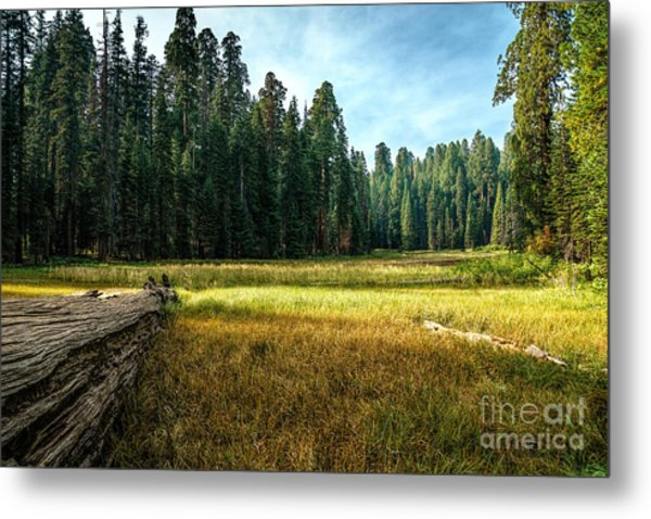 Crescent Meadows Sequoia Np Metal Print