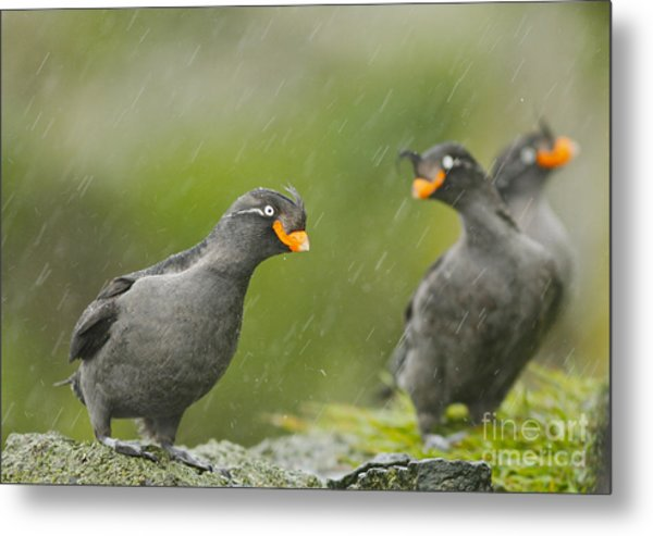 Crested Auklets Metal Print