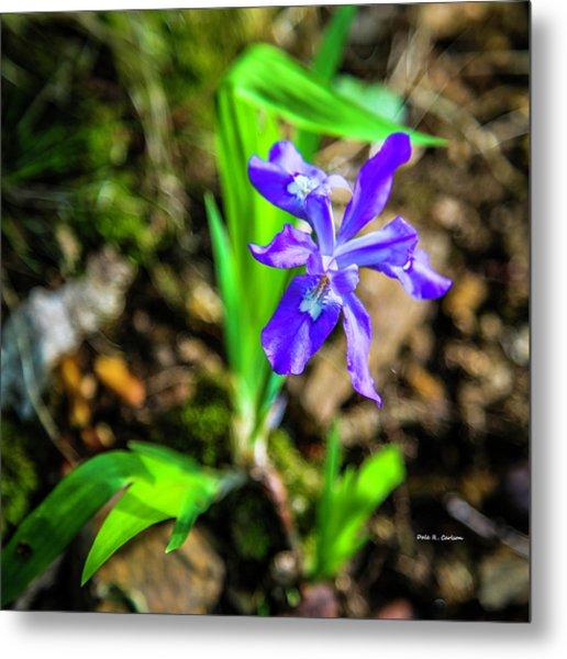 Crested Dwarf Iris Metal Print