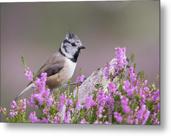 Crested Tit In Heather Metal Print