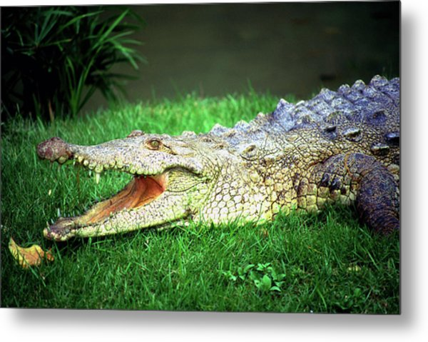 Crocodylus Acutus Metal Print by Luciano Comba