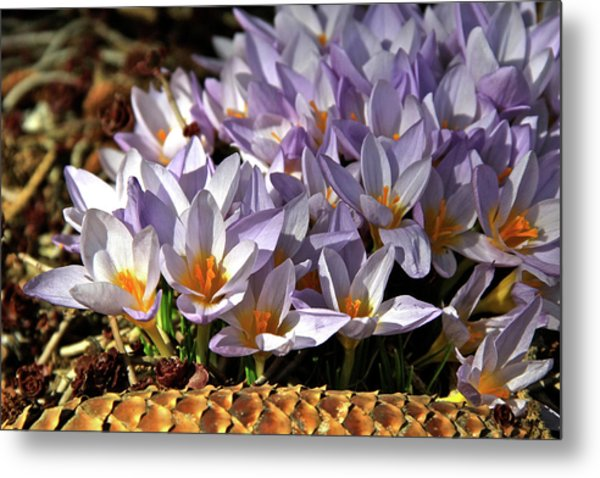 Crocuses Serenade Metal Print