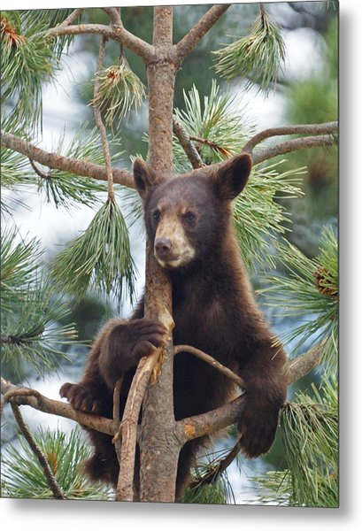 Cub In Tree Dry Brushed Metal Print