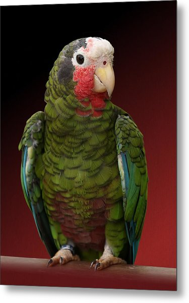 Cuban Amazon Parrot Metal Print
