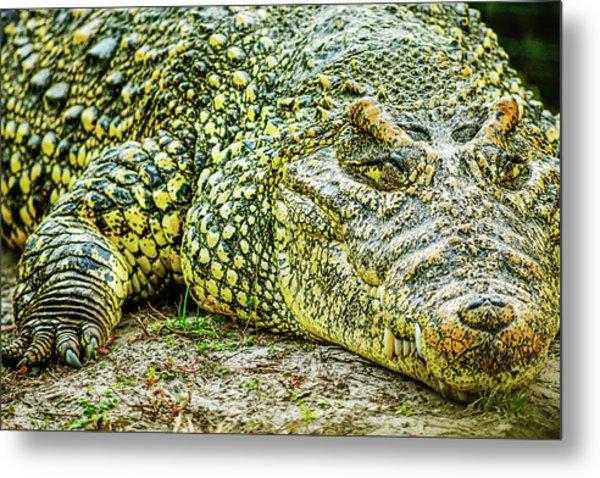Cuban Croc Metal Print
