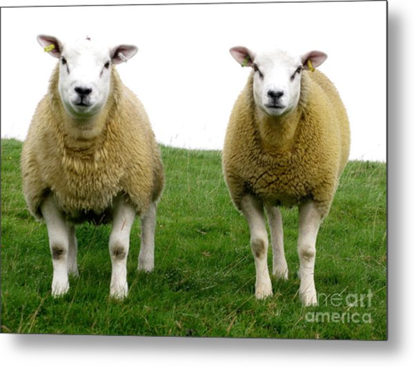 Cumbrian Sheep Metal Print by Ruth Hallam
