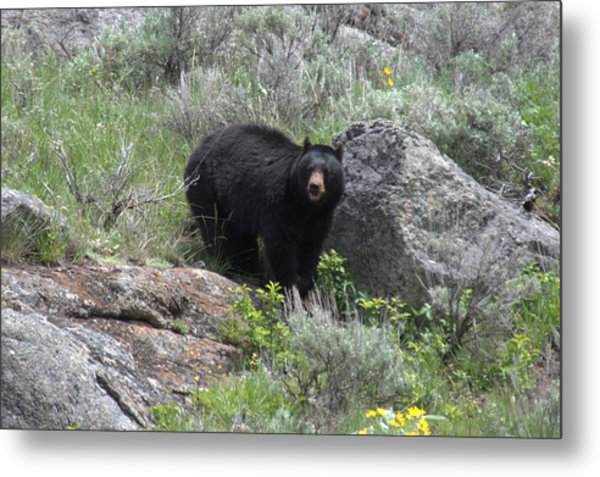 Curious Black Bear Metal Print