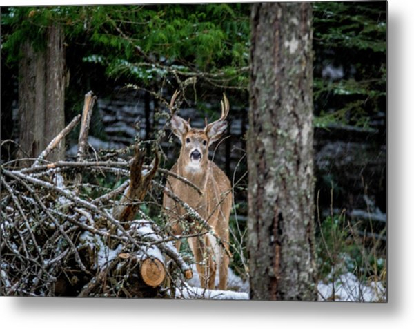 Curious Buck Metal Print