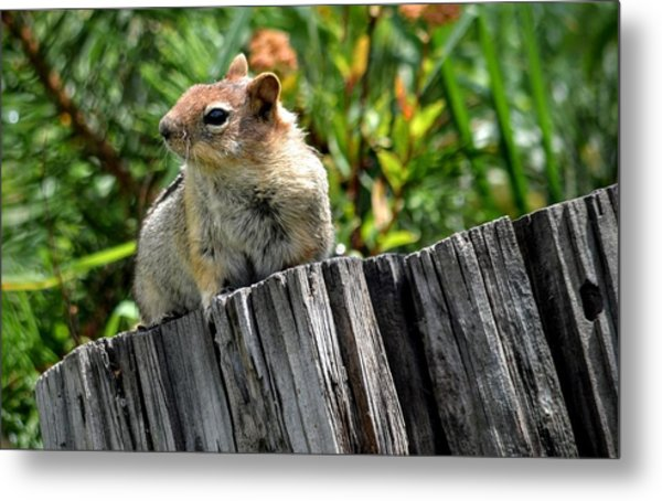 Curious Chipmunk Metal Print
