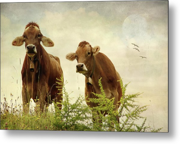 Curious Cows Metal Print