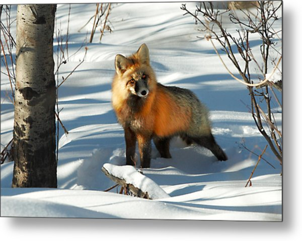 Curious Fox Metal Print