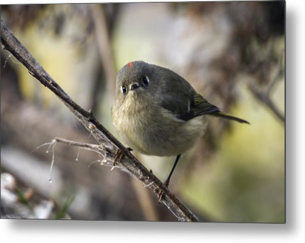 Curious Ruby-crowned Kinglet Metal Print