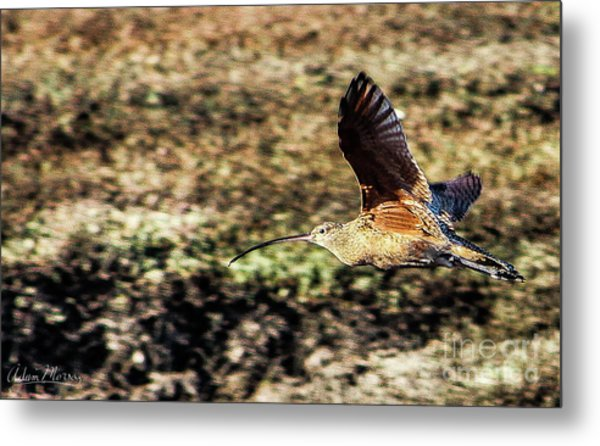 Curlew In Flight Metal Print
