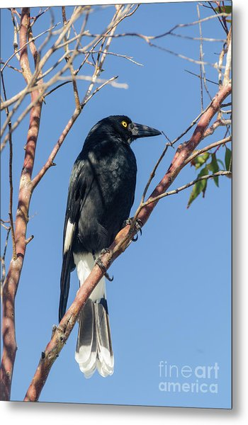 Currawong Metal Print
