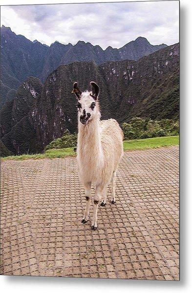 Cute Llama Posing For Picture Metal Print