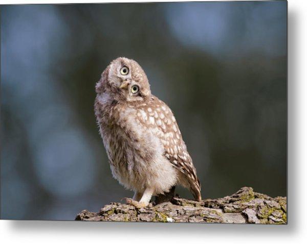 Cute, Moi? - Baby Little Owl Metal Print