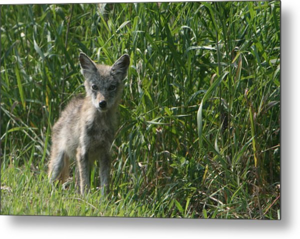 Cyote Pup Metal Print by Dave Clark