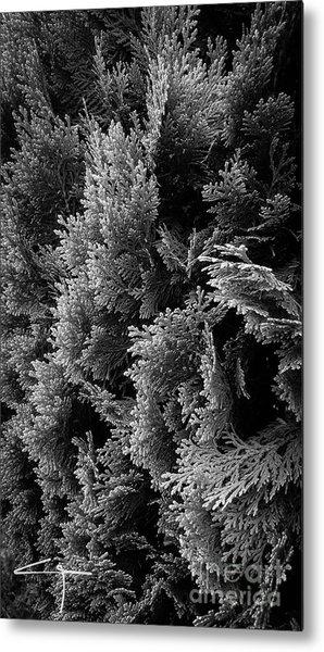 Cypress Branches No.1 Metal Print