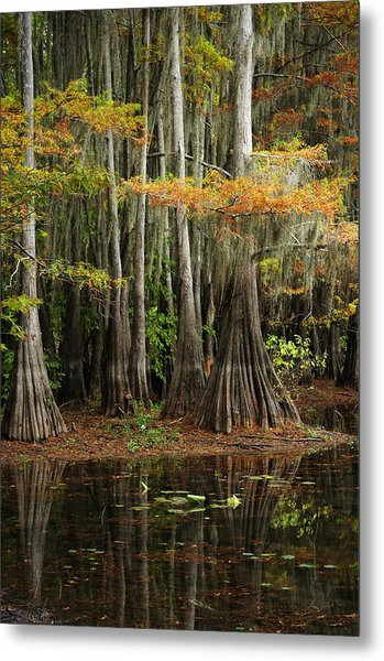 Cypress Trees Forest Metal Print