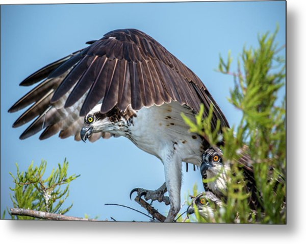 Metal Print featuring the photograph Daddy Osprey On Guard by Donald Brown