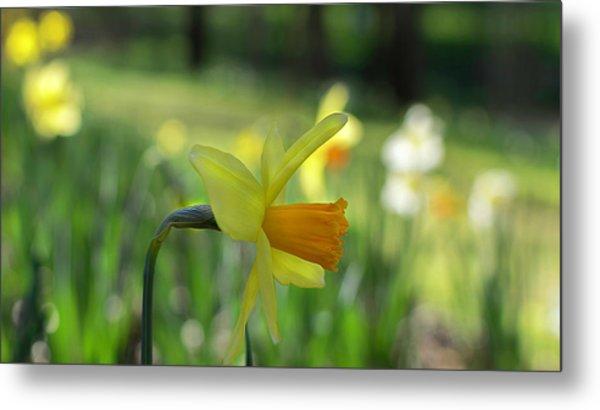 Daffodil Side Profile Metal Print