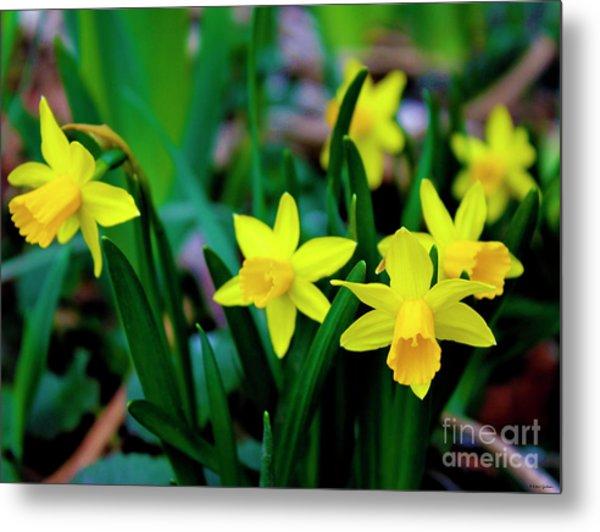 Daffodils A Symbol Of Spring Metal Print