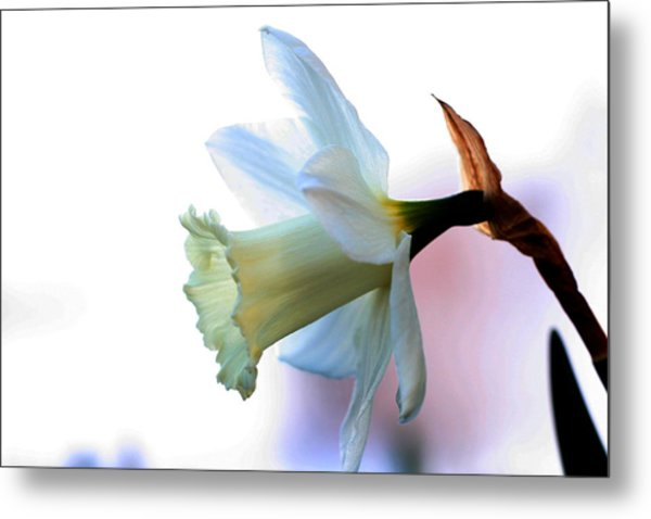 Daffy Metal Print