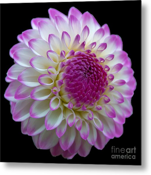 Dahlia Fine Art On Black Metal Print