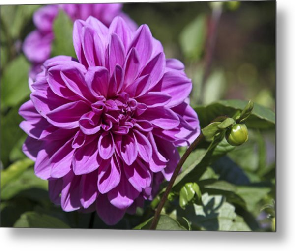 Dahlia Metal Print by Frank Russell
