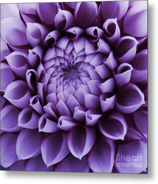 Dahlia Macro In Lavender Metal Print