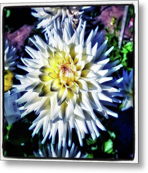 Dahling! You're Looking So Lovely Metal Print by Mr Photojimsf