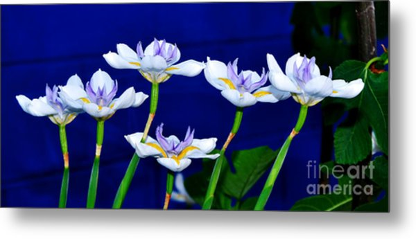 Dainty White Irises All In A Row Metal Print