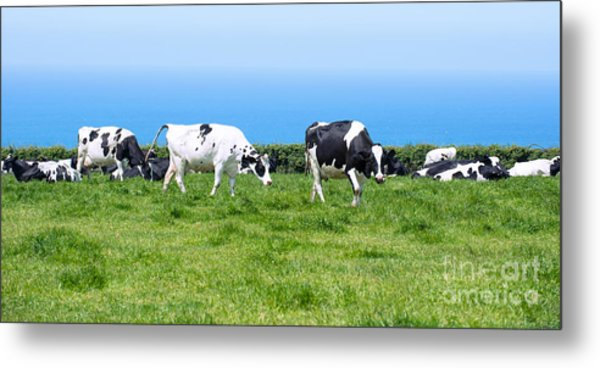 Dairy Cows In Cornwall Metal Print