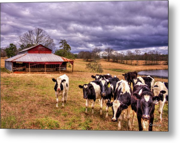 Dairy Heifer Groupies The Red Barn Dairy Farming Art Metal Print