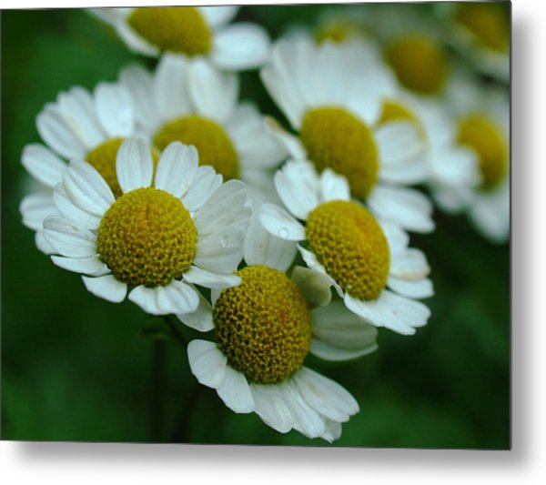 Daisies Metal Print by Juergen Roth