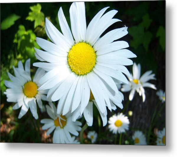 Daisies Metal Print by Ken Day