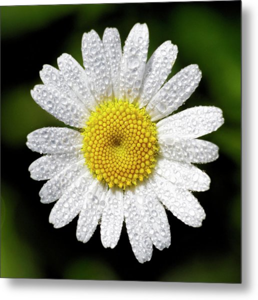 Daisy And Dew Metal Print