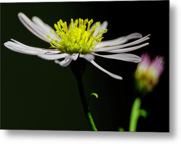 Daisy Center Stage Metal Print