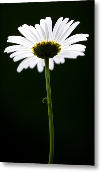Daisy Down Under Metal Print
