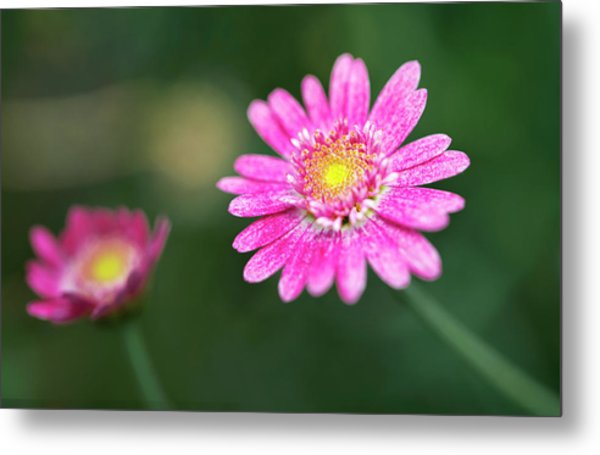 Metal Print featuring the photograph Daisy Flower by Pradeep Raja Prints