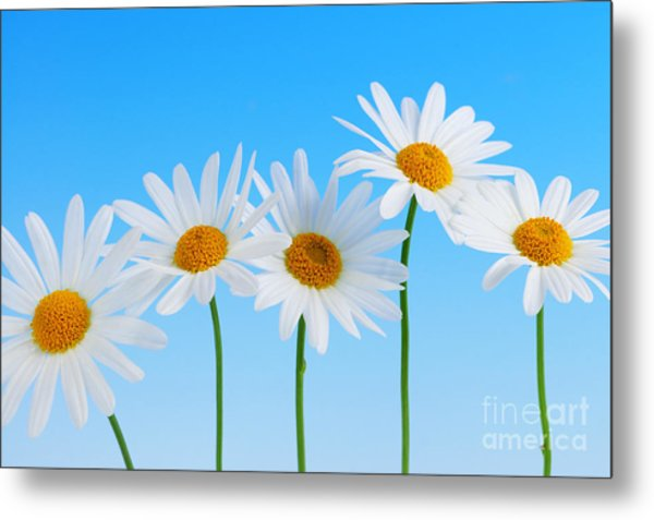 Daisy Flowers On Blue Metal Print