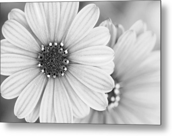 Metal Print featuring the photograph Daisy Study by Margaret Pitcher