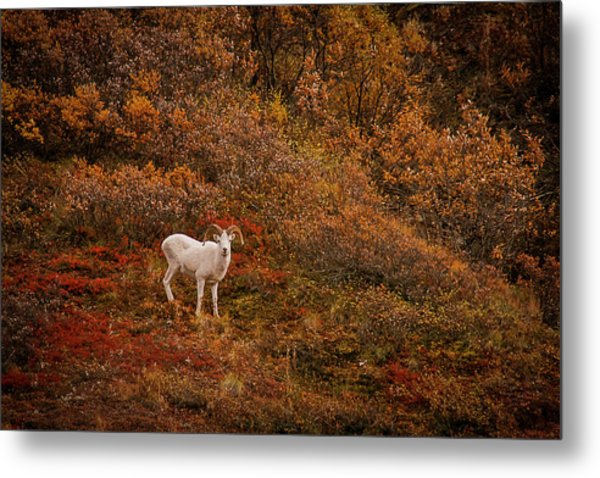 Dall Sheep Denali National Park Metal Print